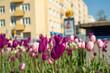 Wiosna w mieście, zieleń miejska, tulipany