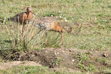 A Pair Of Black Tailed Godwits
