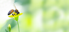 The Bee Collects Nectar. Copy Space. Soft Background. Banner Format. Free Space For Your Design. Nature Concept