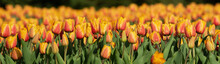 Panorama Of Orange Tulips In The Sun. Field Of Densely Planted Tulips