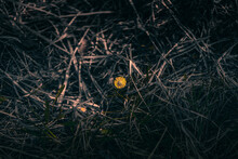 A Small Yellow Flower Bloomed Right At The Beginning Of May Among The Dense Grass In The Park