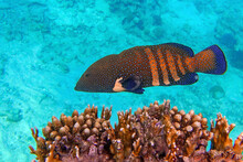 Peacock Grouper (cephalopholis Argus) - Coral Fish - Red Sea