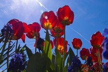 Red Tulips Against Blue Sky