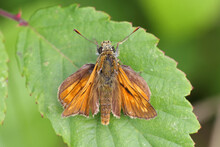 Large Skipper Butterfly (Ochlodes Sylvanus), Resting On A Bramble Leaf, Norfolk, UK.