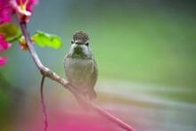 Annas Hummingbird On Branch 02