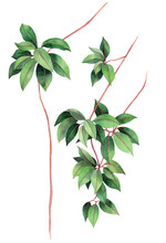 Watercolor Painting Ivy Green Leave  Background.Watercolor Hand Drawn Illustration Tropical Exotic Leaf Prints For Wallpaper,textile Hawaii Aloha Jungle Pattern.