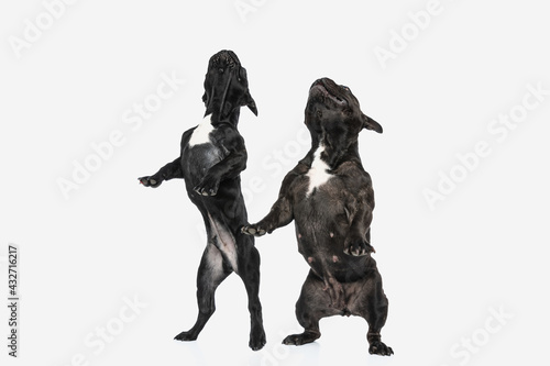 Tablou Canvas french bulldog dogs standing on hind legs and looking up