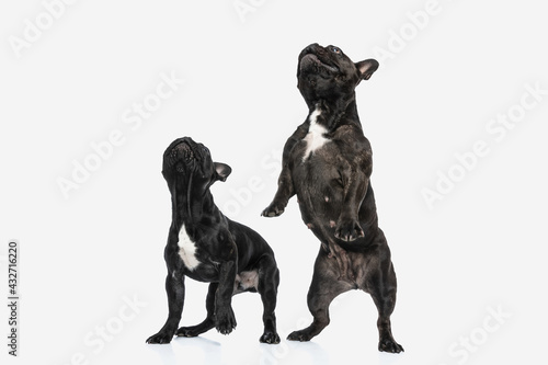 two french bulldog dogs raising on their hind legs Fototapet