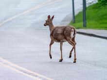 A Deer Walking On The Road