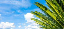 (Selective Focus) Close-up View Of Some Green Cycas Leaves In The Foreground And A Blurred Blue Sky With White Fluffy Clouds In The Distance. Natural Background With Copy Space.