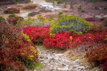 Bear Rocks Trail Footpath In Autumn With Rocky Landscape In Dolly Sods, West Virginia With Red Wild Colorful Blueberry Huckleberry Bushes In Fall Closeup
