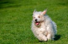Dog Breed, Coton De Tulear