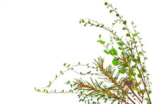 Branches Of Cowberries, Dwarf Birch (Betula Nana) And Marsh (Northern) Labrador Tea (Ledum Palustre) Plant Isolated On A White Background. Forest Bouquet.