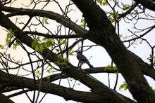 Blue Jay Through The Branches