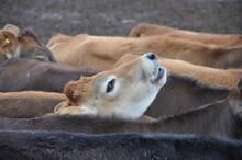 Ternero, Vaca, Ganado, Hacienda, Leche, Carne, Campo, Animales, Animal, Mamifero
