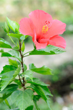 A Beautiful Red Hibiscus
