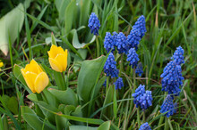 Yellow Tulips And Blue Grape Hyacinths In A Garden
