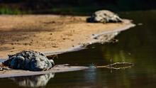 Nile Crocodile In The Wild