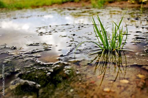 Cuadros en Lienzo Spring Tussock In Marsh