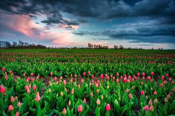 Sunset over the blooming tulips field in northern Poland