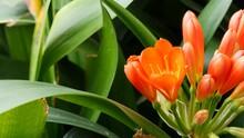 Natal Bush Kafir Lily Flower, California, USA. Clivia Miniata Orange Flamboyant Exotic Fiery Vibrant Botanical Bloom. Tropical Jungle Rainforest Atmosphere. Natural Garden Vivid Fresh Juicy Greenery.