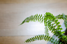 Boston Fern (Nephrolepis Exaltata) In A White Pot On A Wooden Table.