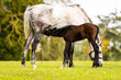 A mare is nursing and feeding her foal