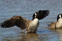 Canadian Goose Wings Out