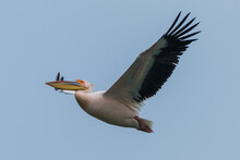 Pelecanus Onocrotalus - Pelican Comun - Great White Pelican