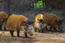 Red River Hogs Will Live Show In The Forest Zoo.