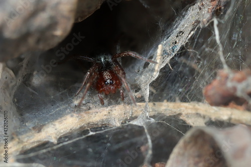 Fotografie, Tablou araignée coélote sur sa toile en tunnel