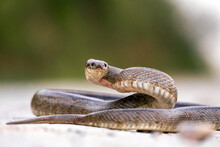 Close-up View Of Ladder Snake Crawling For Prey