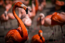 Cuban Flamingo In Its Flock Of Other Flamingos
