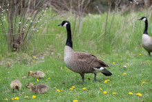 Standing Canada Goose (Branta Canadensis) With Numerous Yellow Plumed Goslings Nearby In Grass With Dandelions Near Shallow Ponds