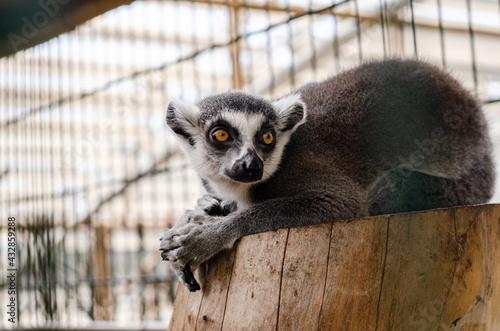 Naklejka premium funny lemur lies on a tree stump in the zoo