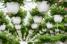 Ornamental Flowers In Greenhouse And Industrial Plants For Business