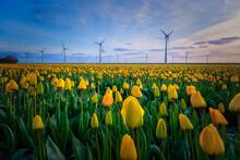 Tulip Field In The Netherlands, Colorful Tulip Fields In Flevoland Noordoostpolder Holland, Dutch Spring Views In The Netherlands, Colorful Tulip Flowers In Spring