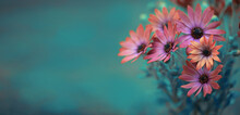 African Daisy On A Blue Background