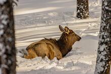 Elk Laying By Itself Enjoying A Warm Winter Day.