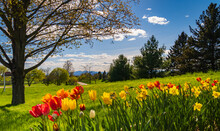 Spring Time View Of Vermont Rural Fields With Spring Bulbs Flowering In Foreground
