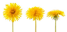 Set Of Yellow Dandelion Flowers On A White Background. Isolated