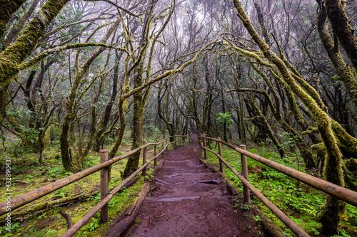 Lush laurisilva. Evergreen forest in Garajonay National Park, tourist footpath, La Gomera island, Spain. - fototapety na wymiar