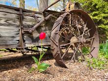 Single Red Tulip By Rusty Farm Wagon Wheel
