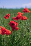 Fototapeta Kwiaty - Beautiful red poppies in a green grass and blue sky. Poppies field