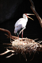 Yellow-billed Stork (Mycteria Ibis) In A Nest With Eggs