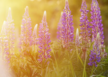 Purple Lupines On The Green Grass At Sunset In The Sunlight