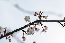 Blossom In Spring, Nacka, Stockholm, Sweden, Sverige