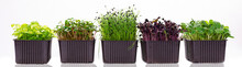 Several Containers With Microgreens On A White Background. Microgreens Of Different Varieties On A Banner Photo. Microgreens Of Radish, Sunflower, Onion And Basil Isolated On White Background