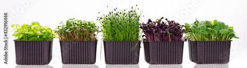 Fototapeta Several containers with microgreens on a white background. Microgreens of different varieties on a banner photo. Microgreens of radish, sunflower, onion and basil isolated on white background obraz