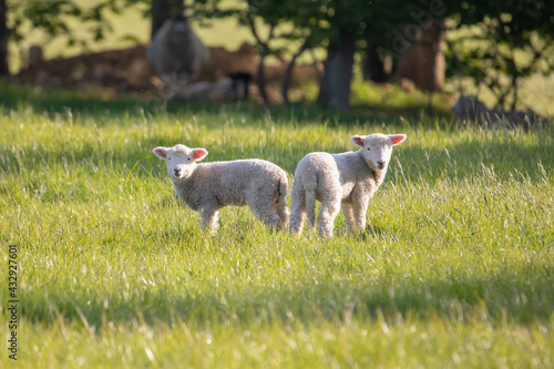 Fotografie, Obraz Gorgeous lambs together in field